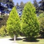 Árbol Carpe