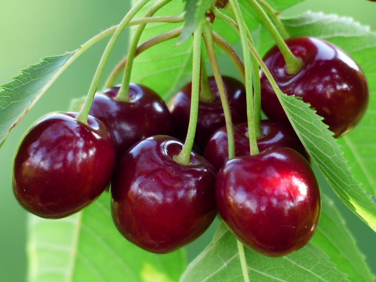 Las cerezas las produce un árbol caducifolio