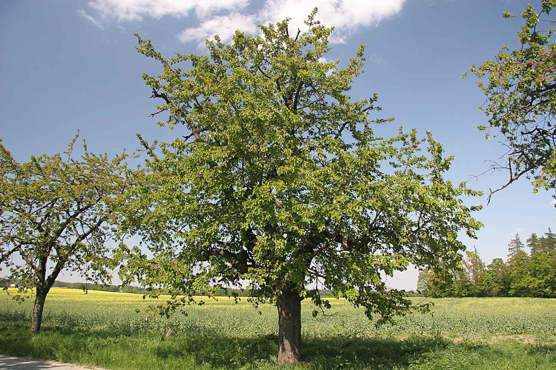El cerezo se planta a finales de invierno
