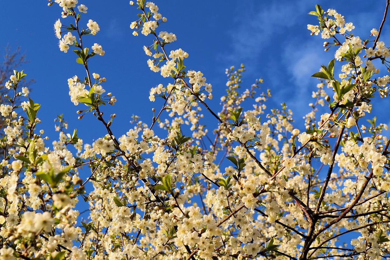 El cerezo es un árbol frutal muy decorativo