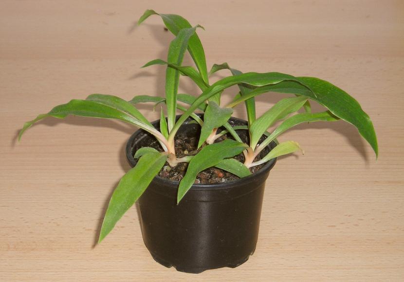 Clorophytum orchidastrum