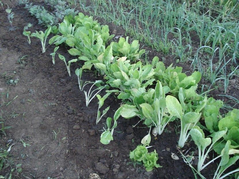 Plantas huerto
