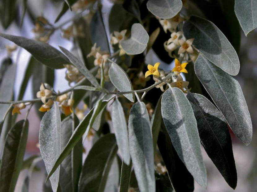 Flores de Eleagnus