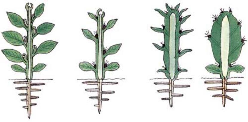 Evolución del cactus