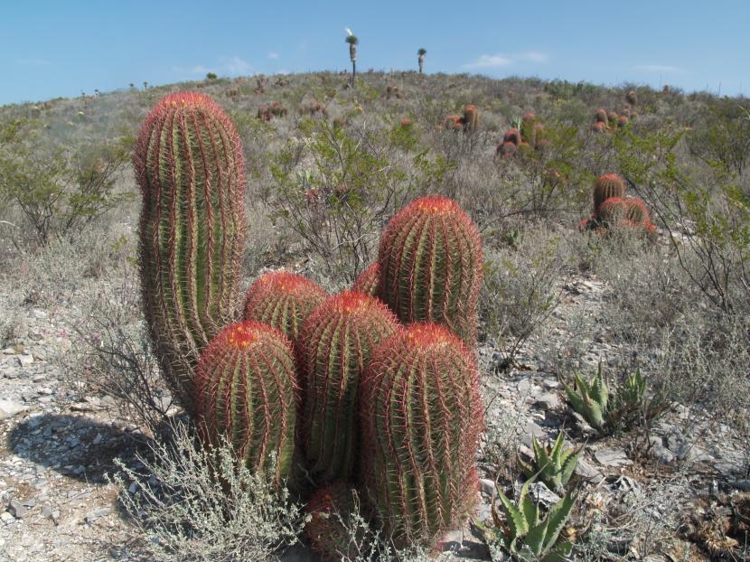 Ferocactus pilosus en hábitat