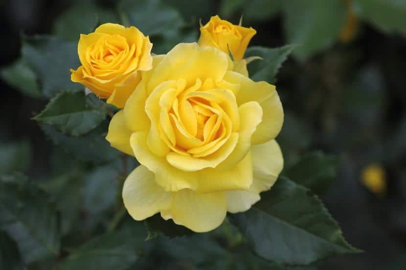 Flor de rosal amarilla