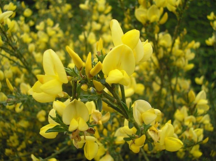Flores del Cytisus x praecox