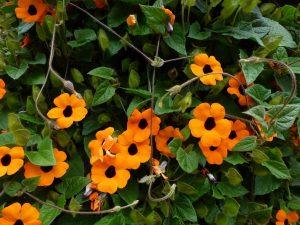 Ojos de poeta es una planta de flores naranjas