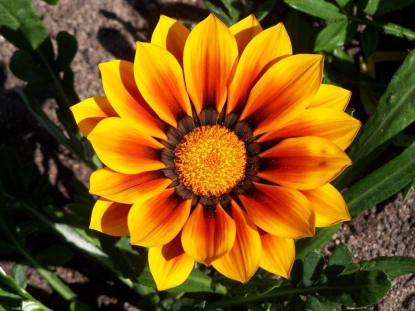 Las gazanias son plantas que tienen que colocarse a pleno sol