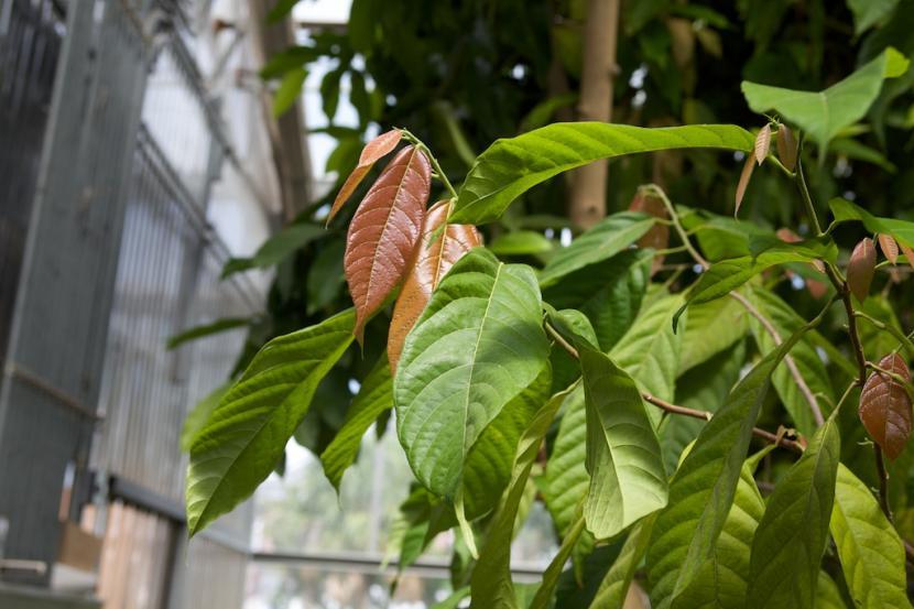 Hojas de Theobroma cacao