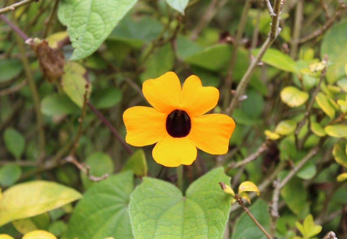 La planta ojos de poeta puede tener alguna plaga