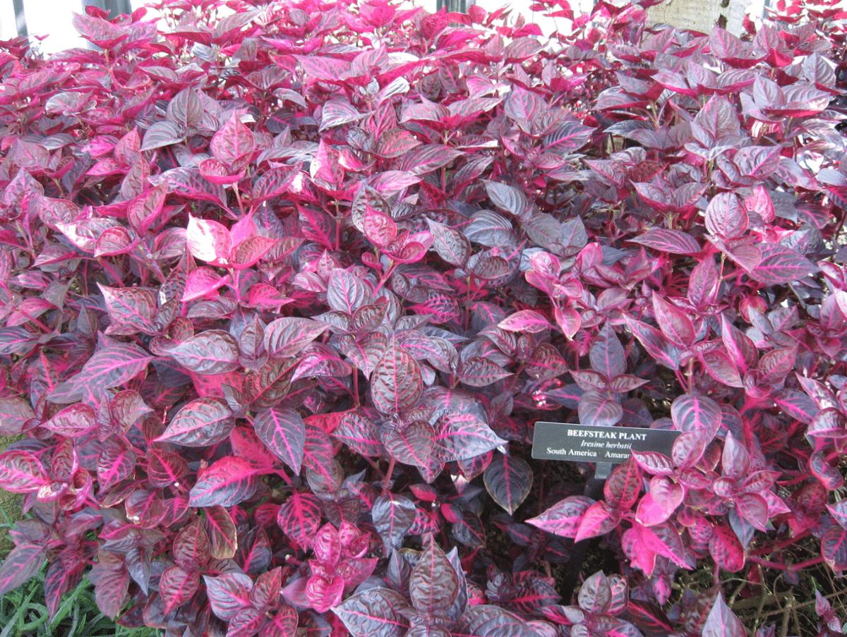 La iresine es una planta ornamental