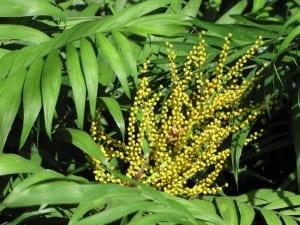 Inflorescencia de Chamaedorea