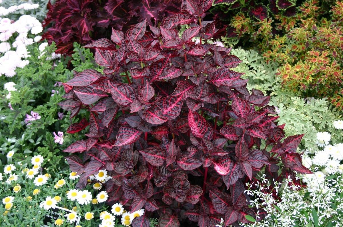 La Iresine es una planta preciosa