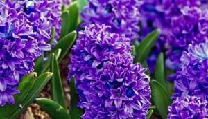 Jacinto lila