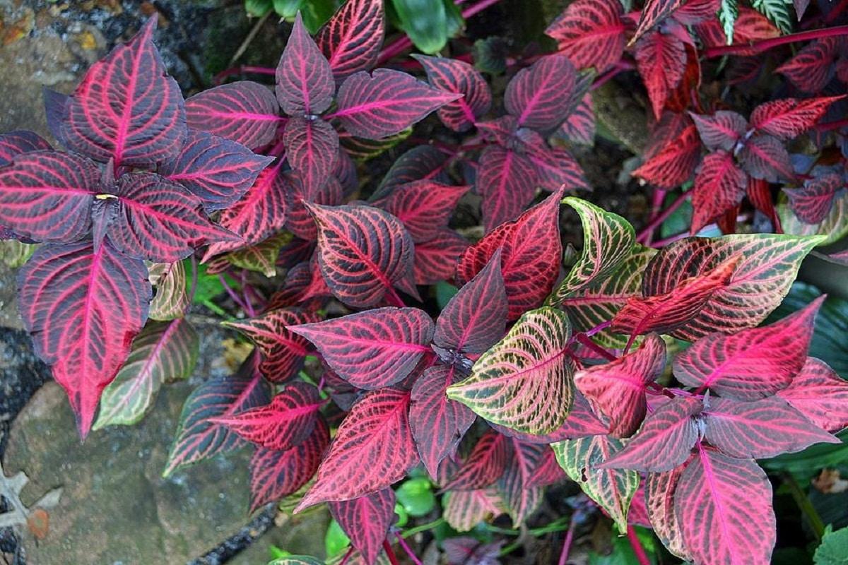 La iresine tiene hojas de colores