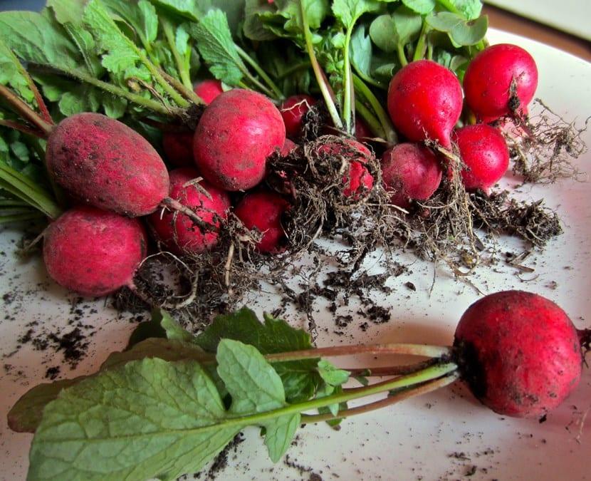 Planta rabanitos