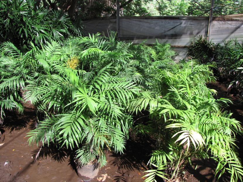 Plantas de Chamaedorea