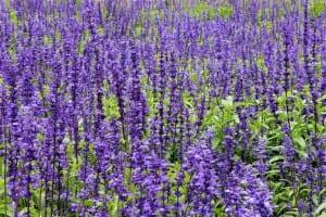 Plantas de Salvia común en flor