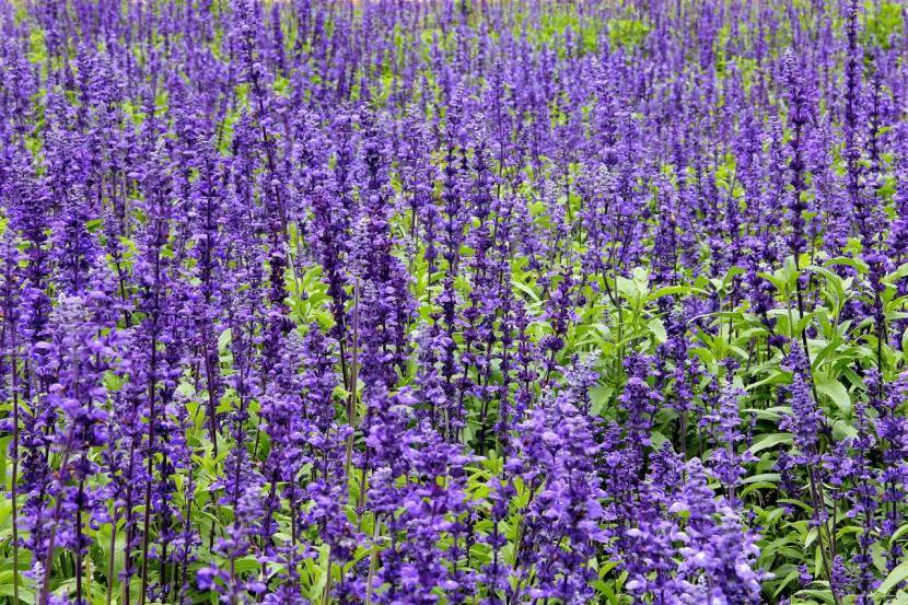 Plantas de Salvia
