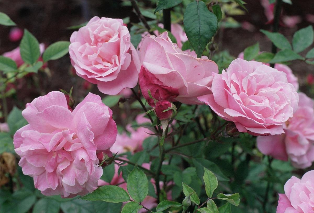 rosa de china con flores secas