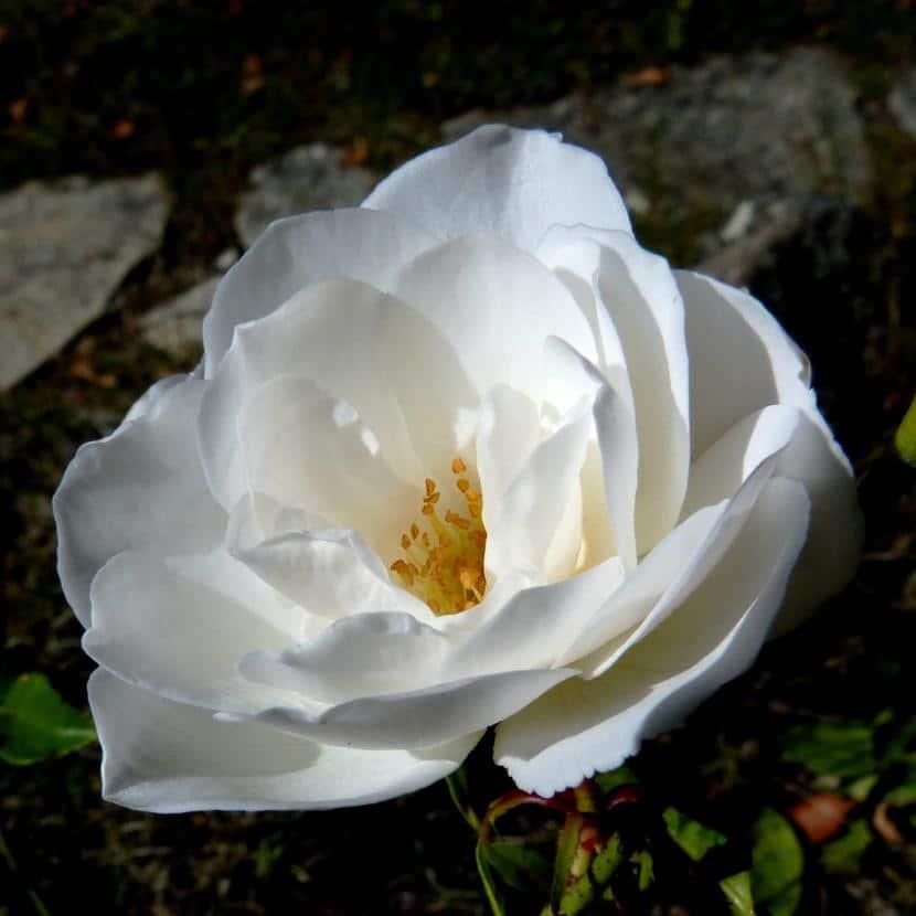 Cuál Es El Significado De Las Rosas Blancas
