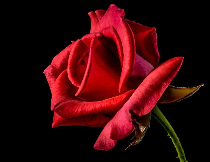 Cuál Es El Significado De Las Rosas Rojas Jardineria On