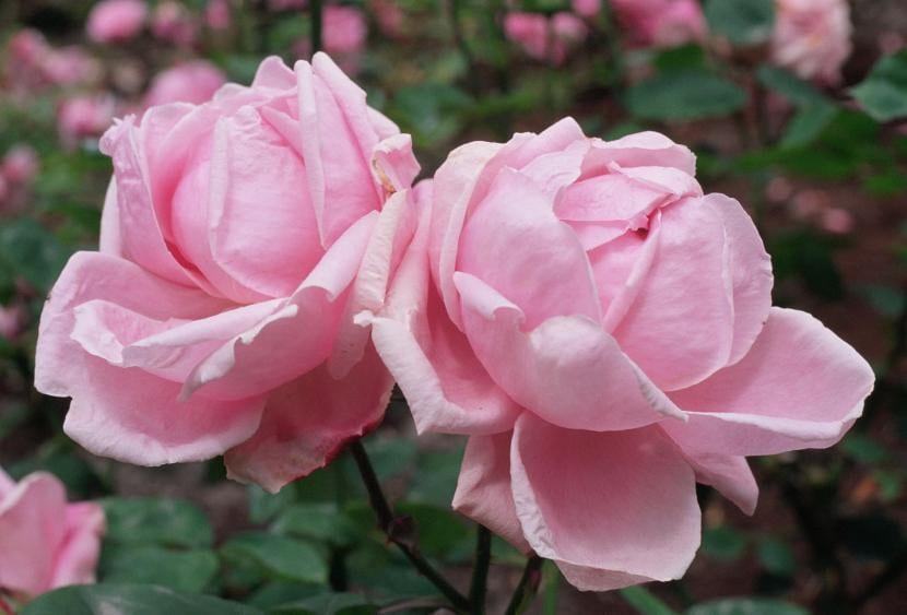 Rosales de color rosa
