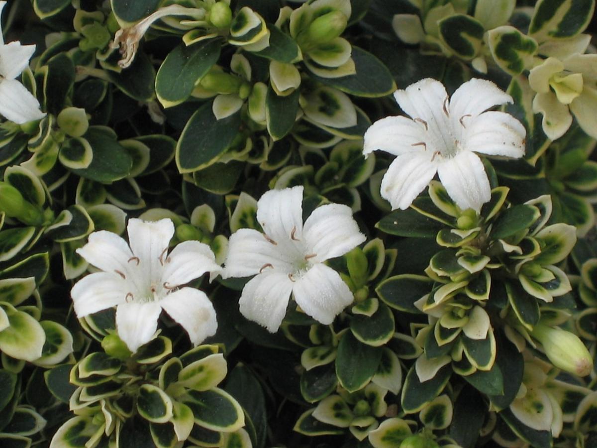La serissa foetida es un arbusto de flores blancas