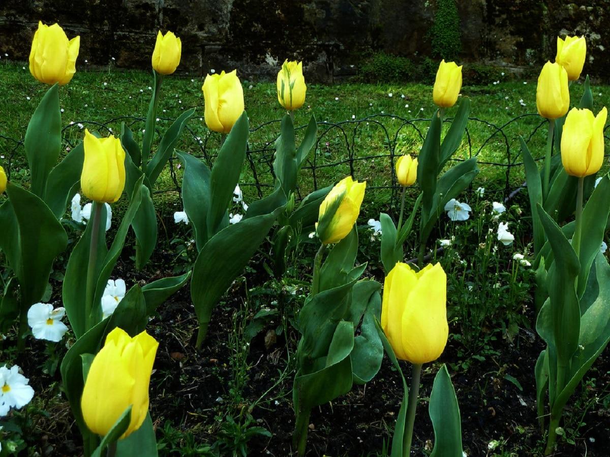 El tulipán amarillo es una flor con significados positivos