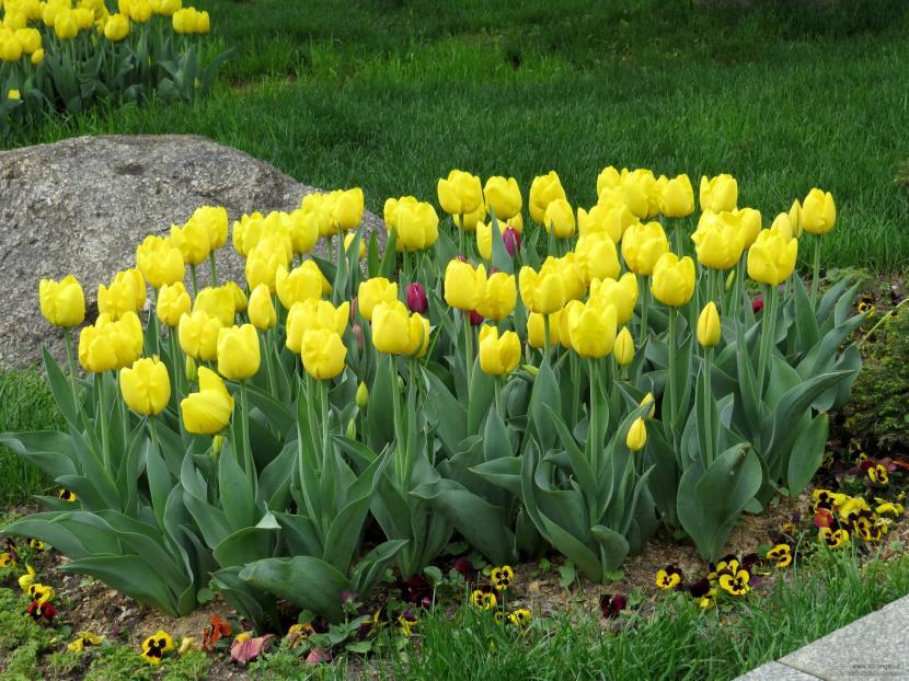 Tulipanes en jardín