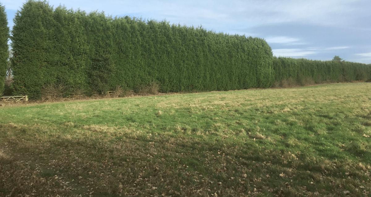 El leylandi es una planta perenne ideal para seto