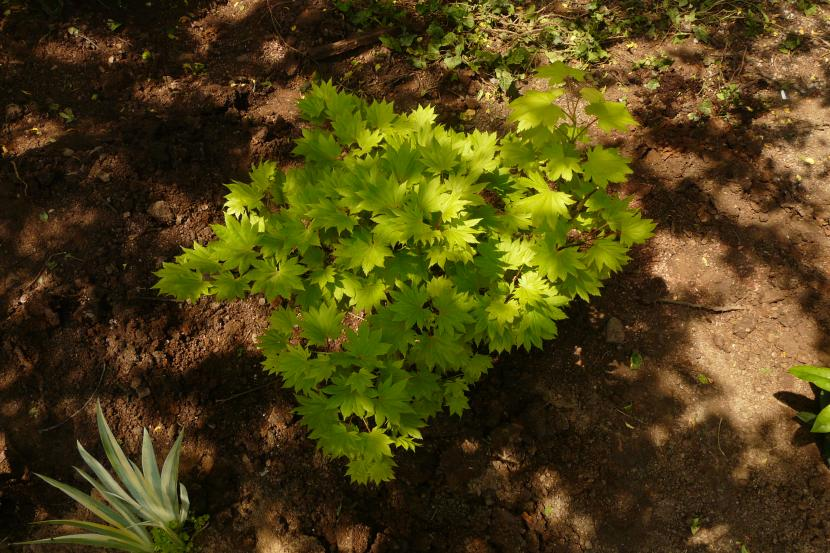 Acer shirasawanum ''Aureum''