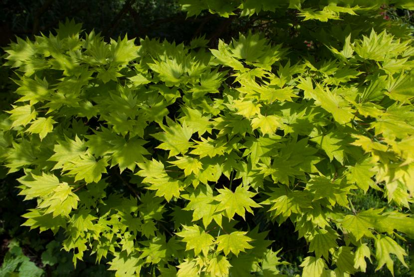 Conoce Al Acer Shirasawanum El árbol De Luna Llena