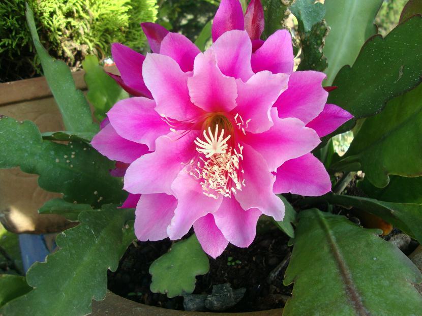Epiphyllum var. Madras Ribbon