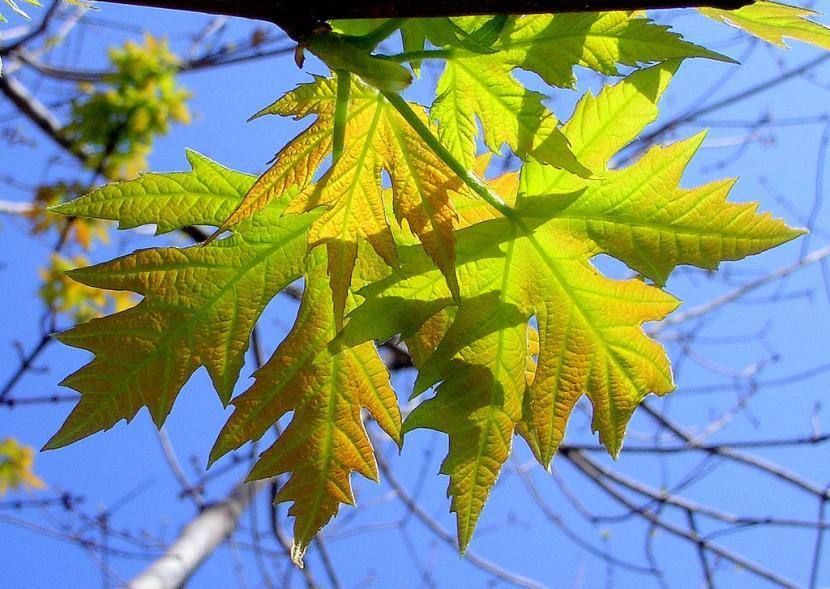 Hojas de Acer saccharinum