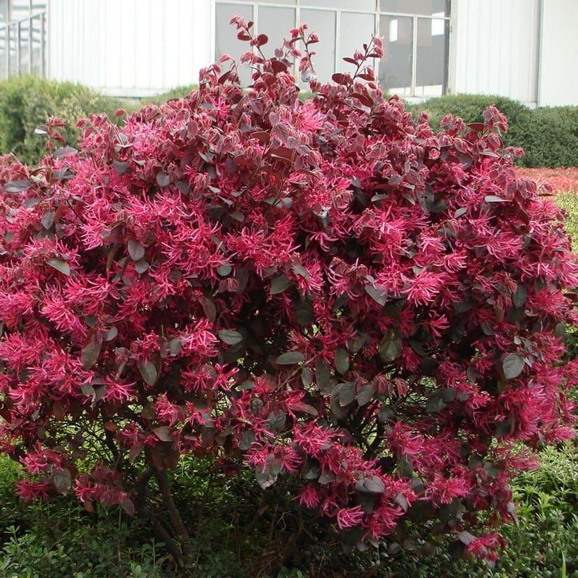 Arbusto Loropetalum