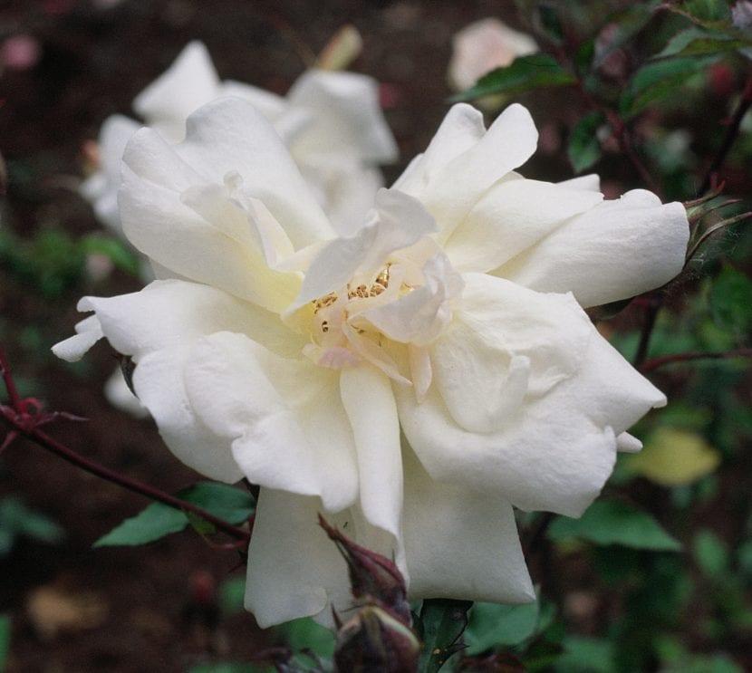 La rosa de té produce flores de diversos colores