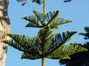 Detalle de las hojas de Araucaria heterophylla