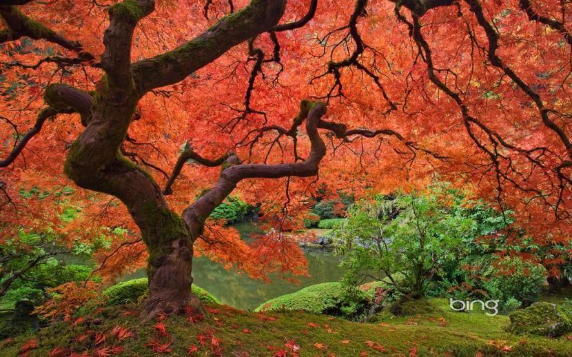 Acer palmatum o arce japonés en otoño