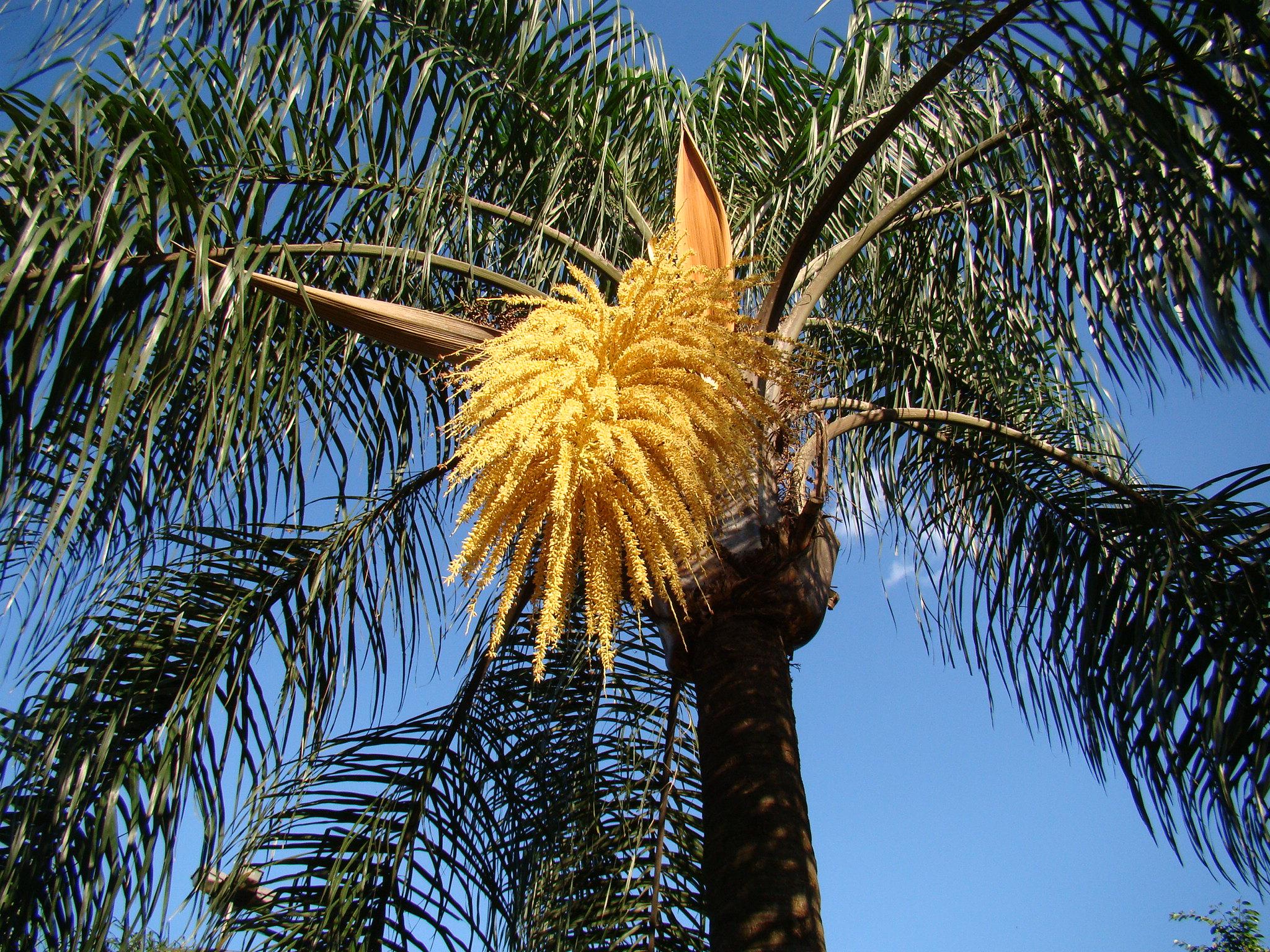 El Syagrus romanzoffiana es una palmera de hojas pinnadas