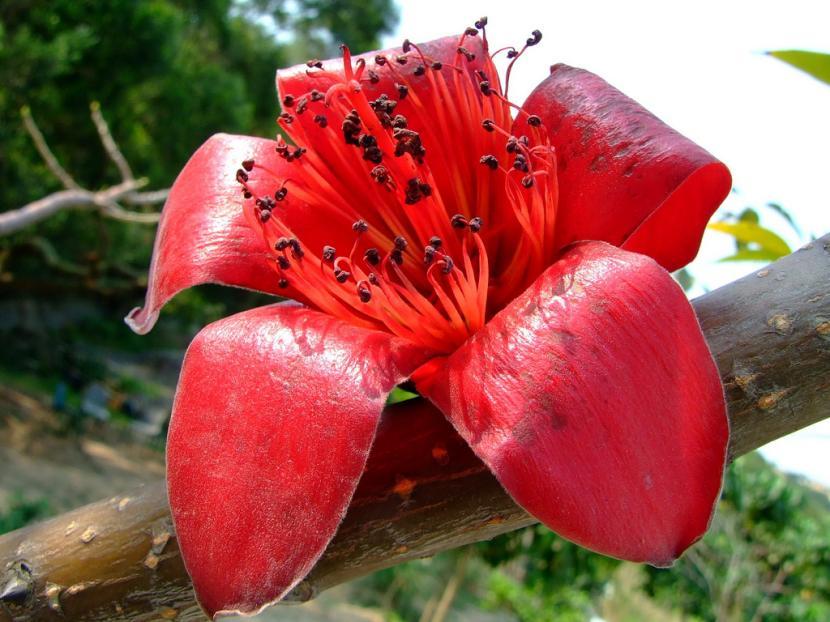 Flor de Bombax