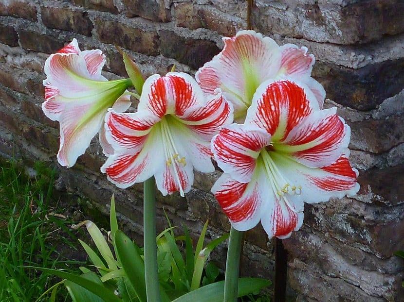Conocemos a las plantas bulbosas - Jacinto planta cuidados ...