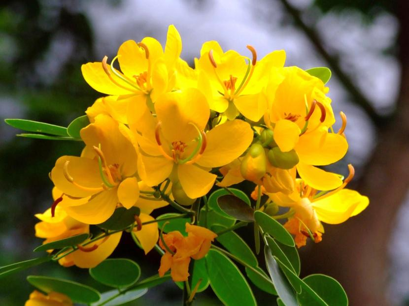 Cassia suratensis