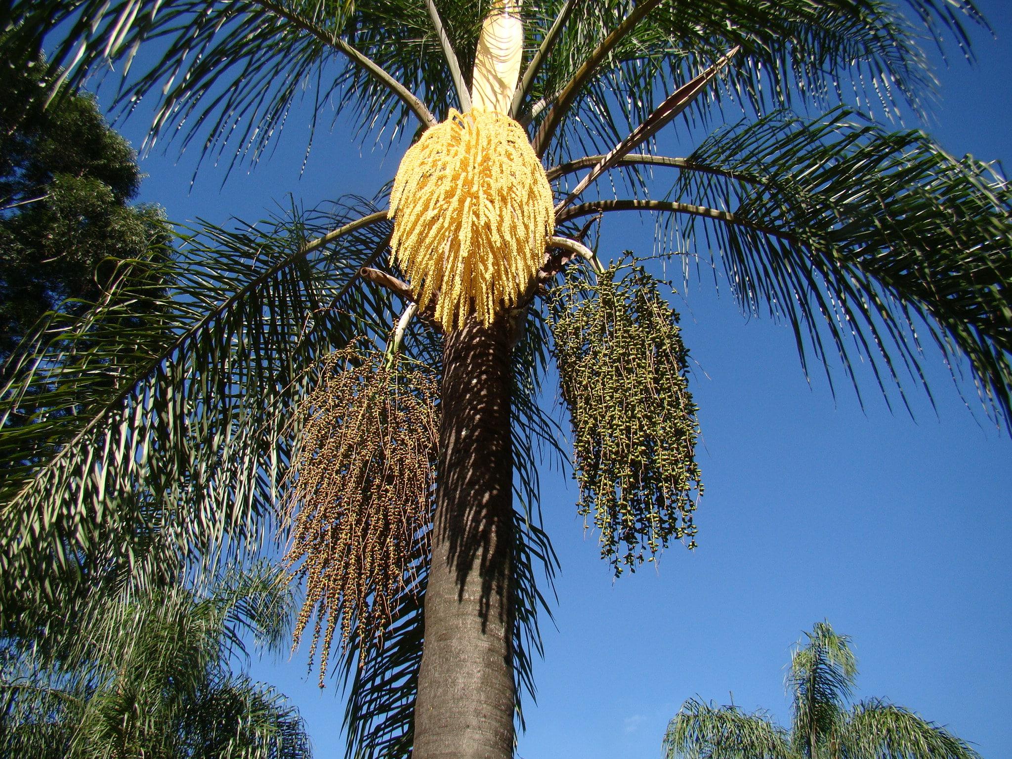 El coco plumoso es una palmera