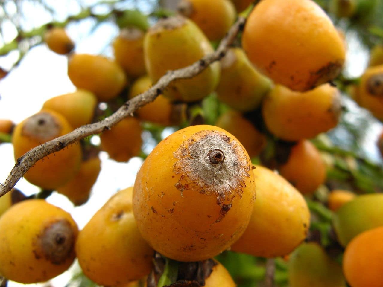 El coco plumoso es una palmera muy decorativa