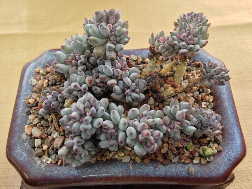 Graptopetalum pachyphytum