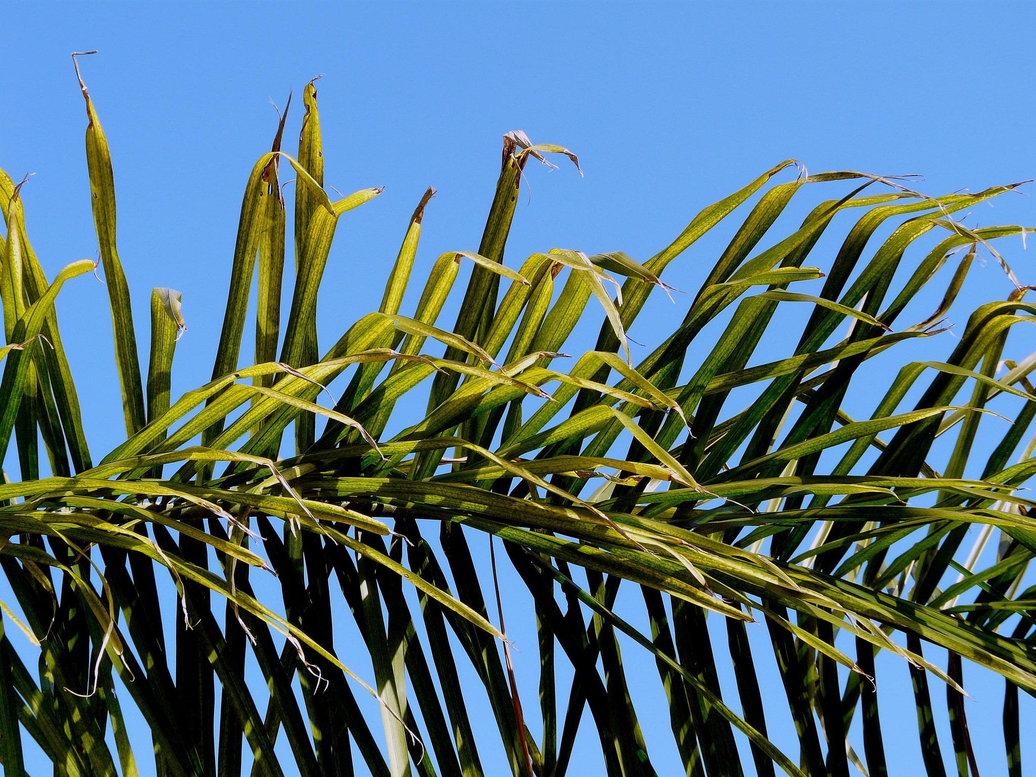 Las hojas del coco plumoso son pinnadas