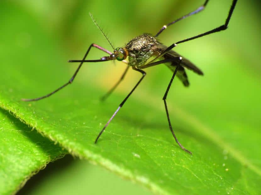 Mosquito sobre hoja