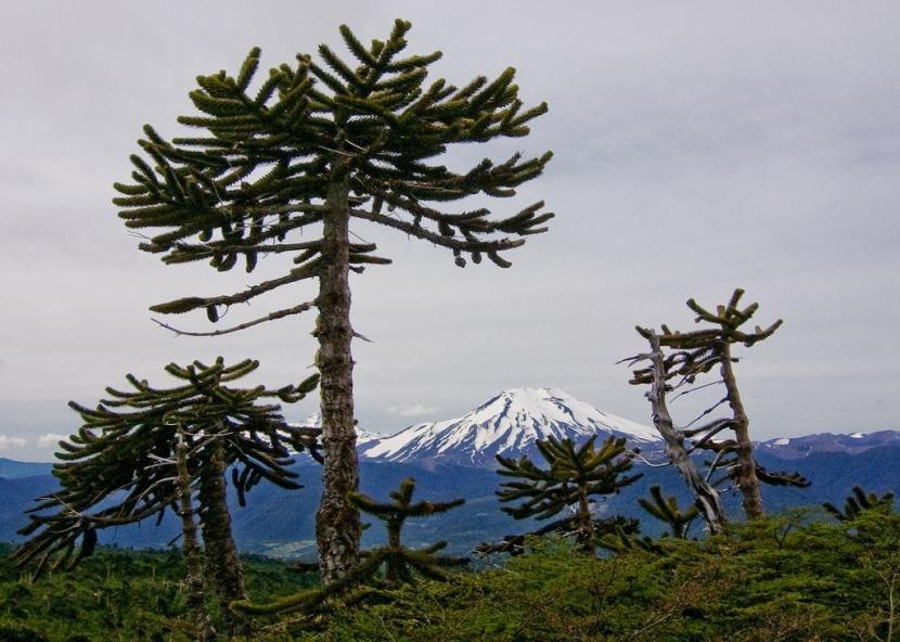 Plantas de Araucaria en hábitat